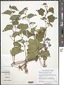 View Ampelopsis brevipedunculata (Maxim.) Trautv. digital asset number 2
