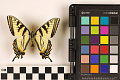 View Tiger Swallowtail digital asset number 1