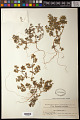 View Euphorbia peplus L. digital asset number 0