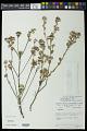 View Waltheria selloana K. Schum. digital asset number 0