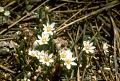 View Lewisia pygmaea (A. Gray) B.L. Rob. digital asset number 2