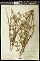 View Euphorbia nutans Lag. digital asset number 0