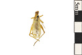 View Four-spotted Tree Cricket digital asset number 0