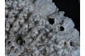 View Bryozoa digital asset number 4