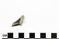 View Fossil Shark, Weasel shark, Snaggletooth shark digital asset number 5