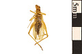 View Four-spotted Tree Cricket digital asset number 1