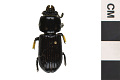 View Eastern Bess Beetle, Horned Passalus, Eastern Bess Beetle, Horned Passalus digital asset number 2