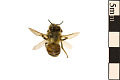 View European Honey Bee digital asset number 0
