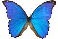 View Giant Blue Morpho digital asset number 1