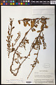 View Cladomyza cuneata Danser digital asset number 0