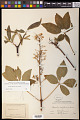 View Aesculus californica (Spach) Nutt. digital asset number 0