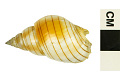View Acorn Dog Whelk digital asset number 1
