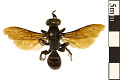 View Mole Cricket Hunter Wasp digital asset number 0