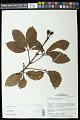 View Caryocar glabrum subsp. glabrum digital asset number 0