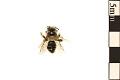 View Mining Bee, Andrenid Bee digital asset number 0