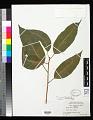 View Ficus prolixa var. carolinensis (Warb.) Fosberg digital asset number 0