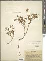 View Turnera melochioides var. melochioides Cambess. digital asset number 1