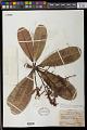 View Campnosperma gummiferum (Benth.) Marchand digital asset number 0
