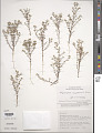 View Polycarpaea corymbosa (L.) Lam. digital asset number 1