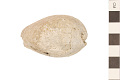 View Fossil Cowrie, Spengler's Cowrie digital asset number 0