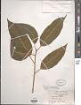 View Ficus prolixa var. carolinensis (Warb.) Fosberg digital asset number 1