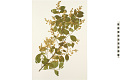 View Common Chinese Privet digital asset number 3