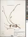 View Hibiscus caerulescens Baill. digital asset number 1