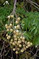 View Sapindus saponaria L. digital asset number 2