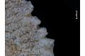 View Bryozoa digital asset number 10