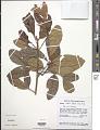 View Tapirira obtusa (Benth.) J.D. Mitch. digital asset number 1
