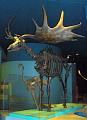 View Megaloceros giganteus (Blumenbach) digital asset number 2