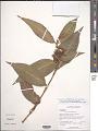View Commelina rufipes var. glabrata (D.R. Hunt) Faden & D.R. Hunt digital asset number 1