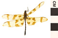 View Halloween Pennant, Common Skimmer digital asset number 0