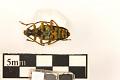 View Chestnut Bark Borer, Long-horned Beetle, Long-horned Beetle digital asset number 1