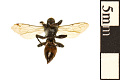 View Square-headed Wasp, Sand-loving Wasp digital asset number 1
