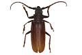 View Long-horn Beetle digital asset number 2