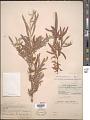 View Salix hindsiana var. leucodendroides (Rowlee) C.R. Ball digital asset number 1
