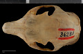 View Sciurus aberti ferreus True, 1900 digital asset number 7