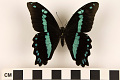 View Green-banded Swallowtail, Blue-banded Swallowtail digital asset number 2