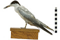 View Common Tern digital asset number 4