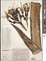 View Agave sisalana Perrine digital asset number 1