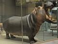 View Hippopotamus amphibius kiboko digital asset number 0