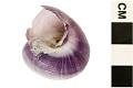 View Purple Bubble Raft Snail digital asset number 2
