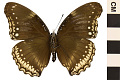 View Great Eggfly, Common Eggfly digital asset number 1
