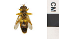 View Hoverfly, Yellow Jacket Hover Fly digital asset number 1