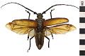 View Long-horn Beetle, Long-horned Beetle digital asset number 0