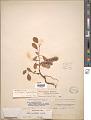 View Salix ovalifolia Trautv. digital asset number 1