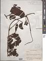View Dendromyza reinwardtiana (Blume) Danser digital asset number 1