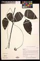 View Mucuna gigantea (Willd.) DC. digital asset number 0