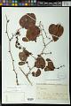 View Smilax cognata Kunth digital asset number 0